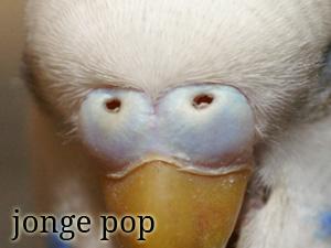 De neusdop van een jonge pop / vrouwtje