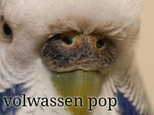 De neusdop van een volwassen vrouwtjes (ook wel pop) grasparkiet
