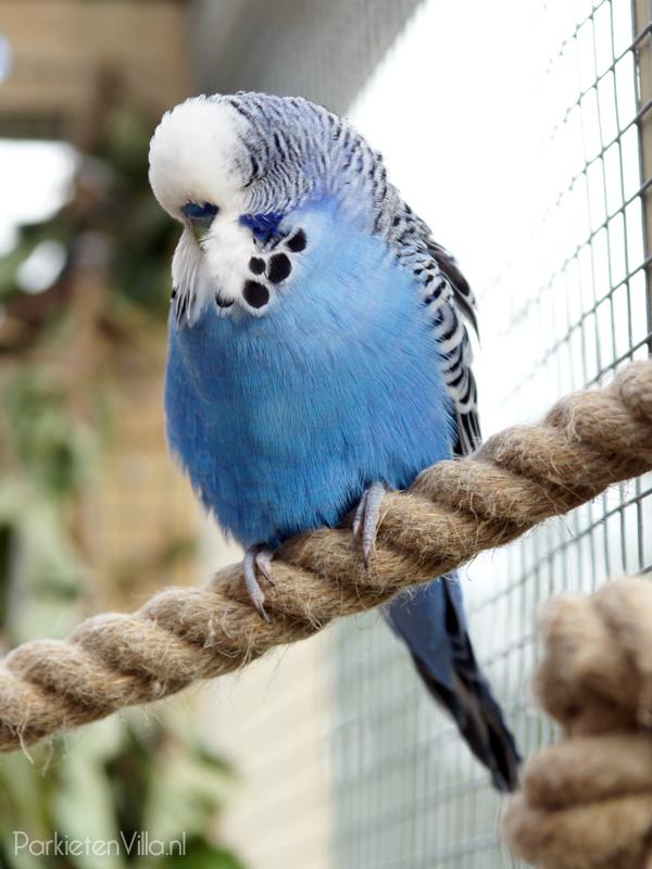 kobalt blauw parkiet