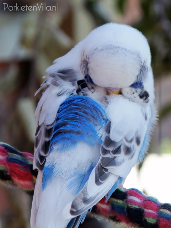 recessief bont kobalt blauw